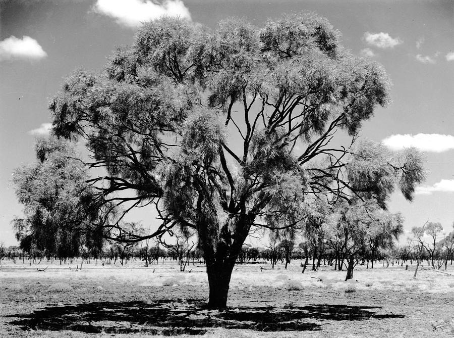 Boree Tree Cunnamulla To Thylungra S Route Acacia Pendula