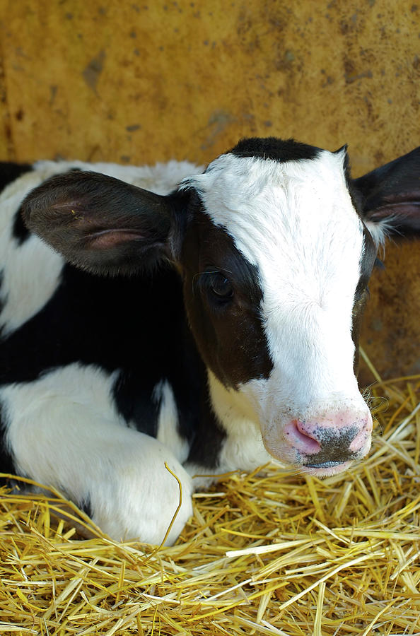 Born Calf Photograph by Naphtalina