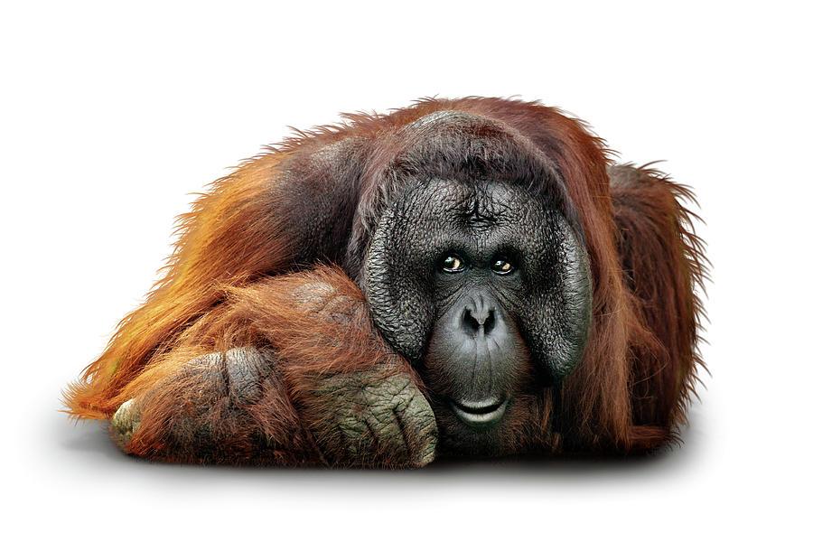 Bornean Orangutan Lying Down Extracted by Susan Schmitz