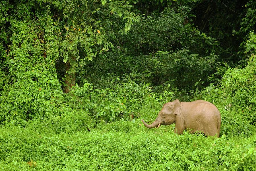 Borneo Pygmy Elephant Calf In Rainforest Photograph by Sebastian Kennerknecht
