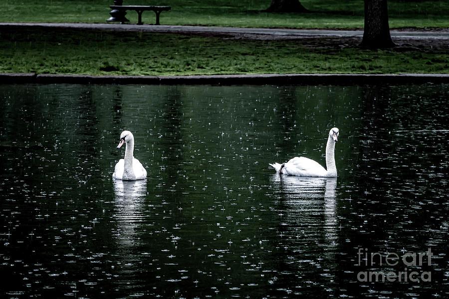 Boston Commons Swans Photograph