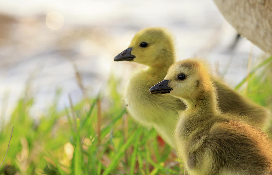 Boston Goslings by Rob Davies