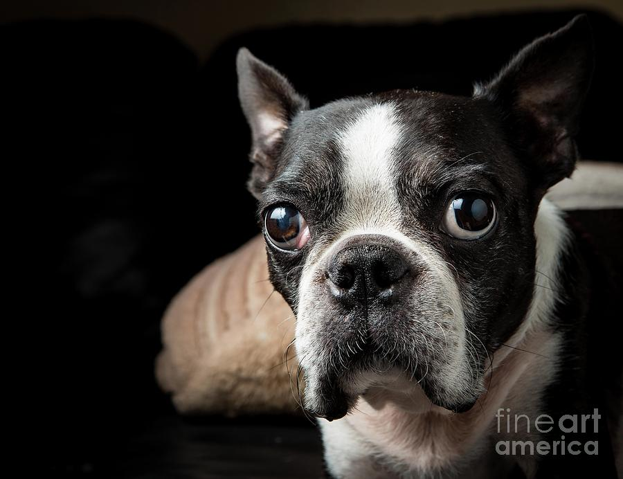 Boston Terrier Portrait, Pasadena Photograph by Scott Wu