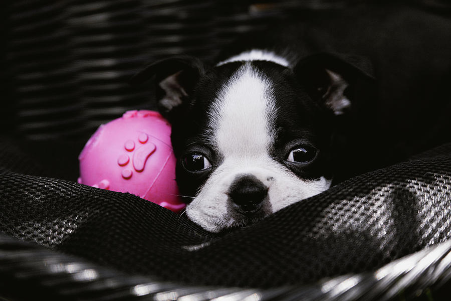 Boston Terrier Puppy and Pink Ball by Jeanette Fellows