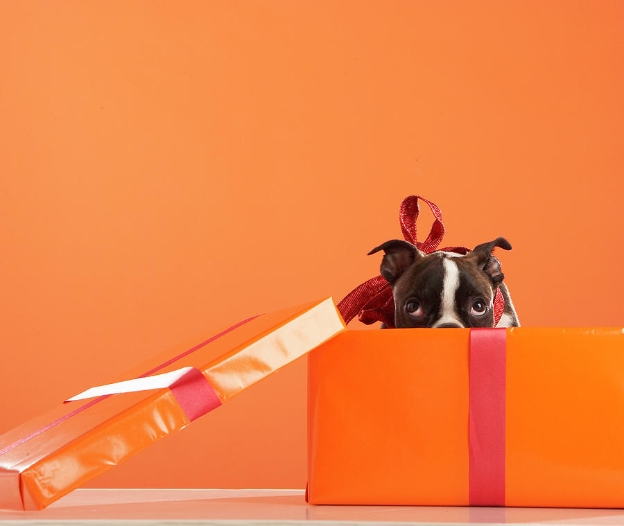 Boston Terrier Puppy In Gift Box Photograph by Thomas Northcut