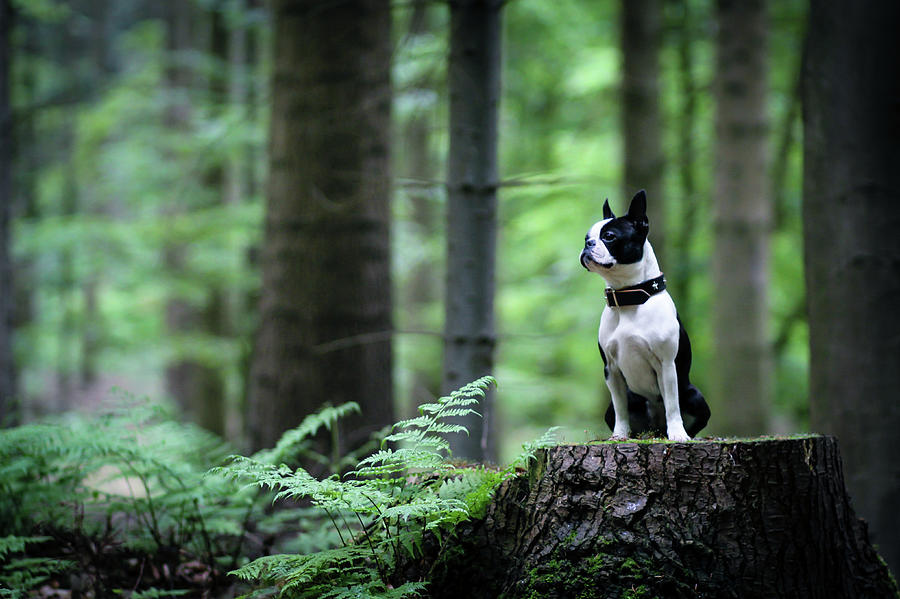 Boston Terrier Sitting On A Stub In The Photograph by Tereza Jancikova