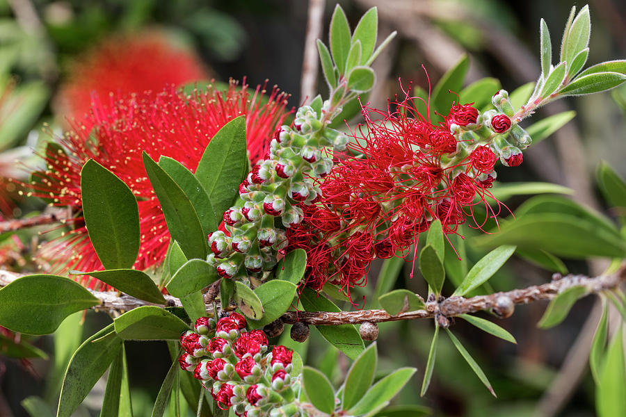 Bottlebrush by Arterra Picture Library