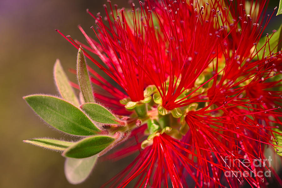 Bottlebrush Autumn Warmth by Joy Watson