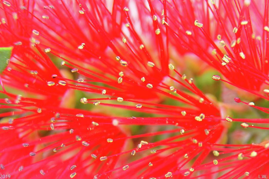 Bottlebrush Close Up 2 by Lisa Wooten