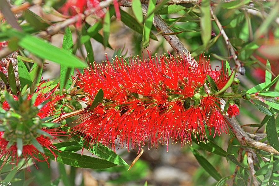 Bottlebrush Flower by Lisa Wooten