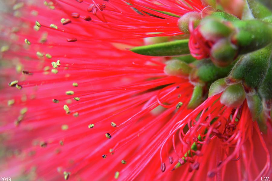 Bottlebrush Macro 3 by Lisa Wooten