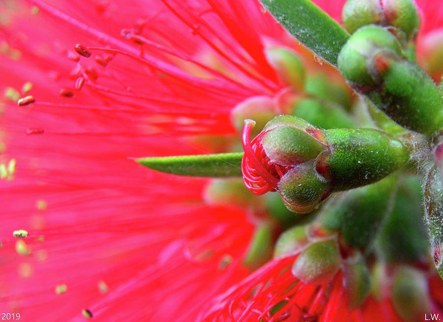 Bottlebrush Macro by Lisa Wooten