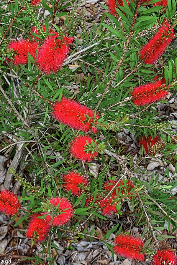 Bottlebrush Vertical by Lisa Wooten