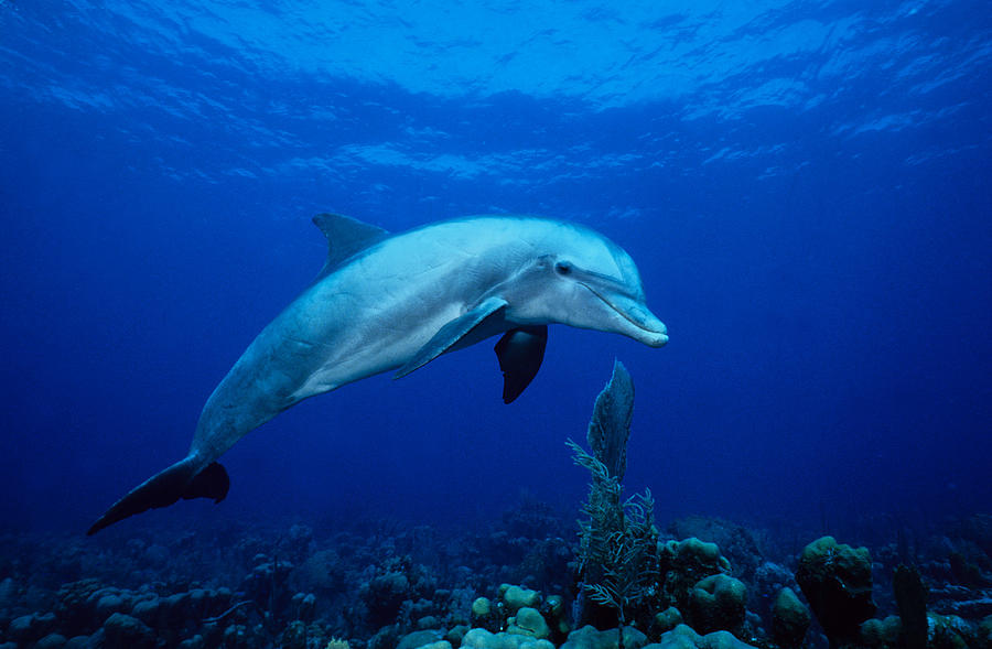 Bottlenose Dolphin,tursiops Photograph by Gerard Soury