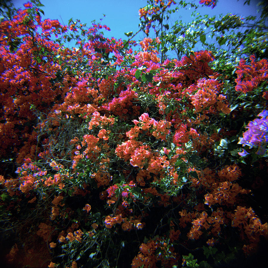 Bougainvillea Wall-1 by Rudy Umans