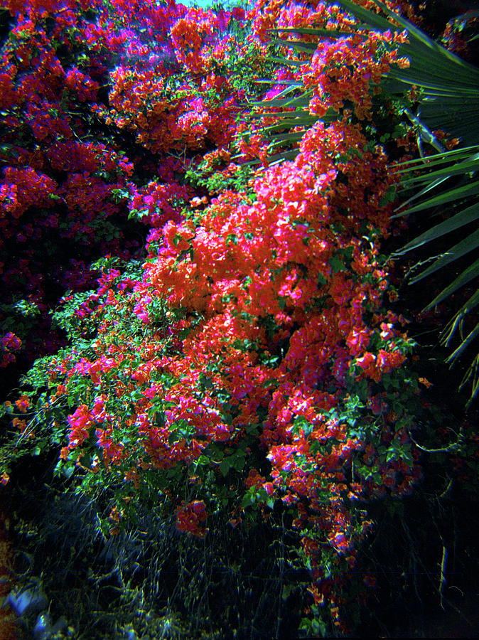 Bougainvillea Wall-4 by Rudy Umans