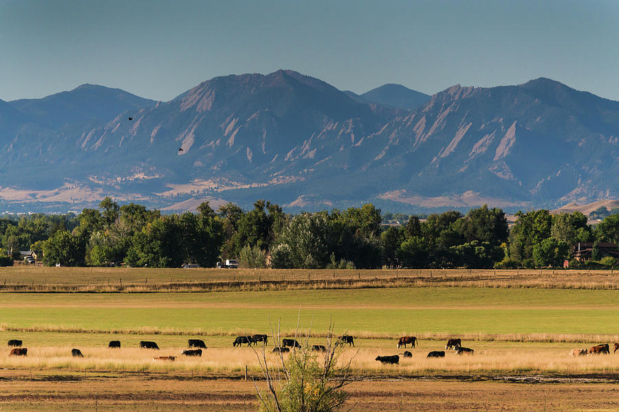Boulder Flatirons and Cows by James BO Insogna