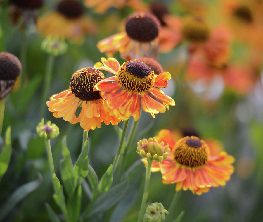 Bouquet of Coneflowers by Whispering Peaks Photography