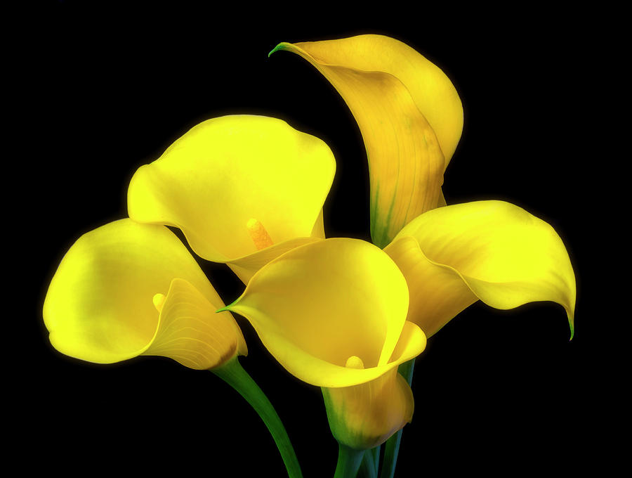 Graphic Photograph - Bouquet Of Yellow Calla Lilies by Garry Gay