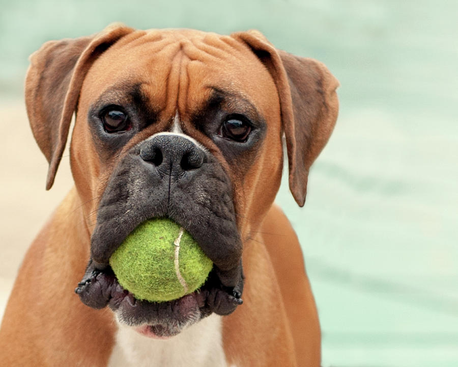 Boxer Dog Photograph by Jody Trappe Photography