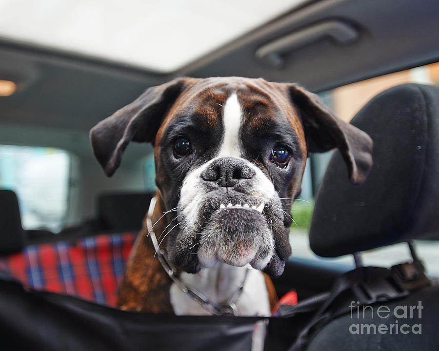 Small Photograph - Boxer Dog by Onixxino