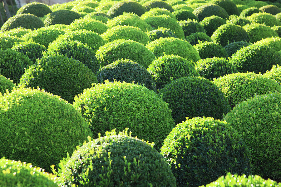 Boxwood, Shape, Pattern Photograph by Hiroshi Higuchi