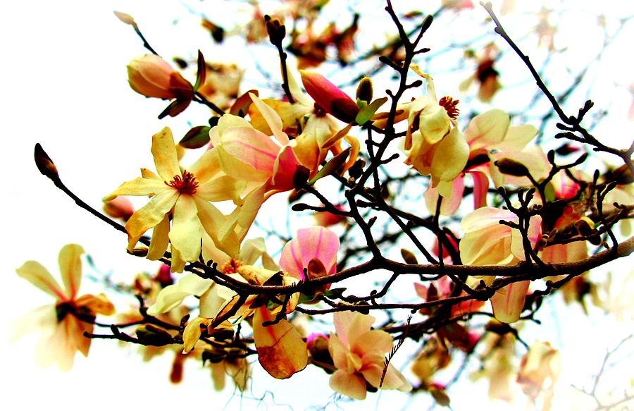Branch Of Magnolia Flowers by Cynthia Guinn