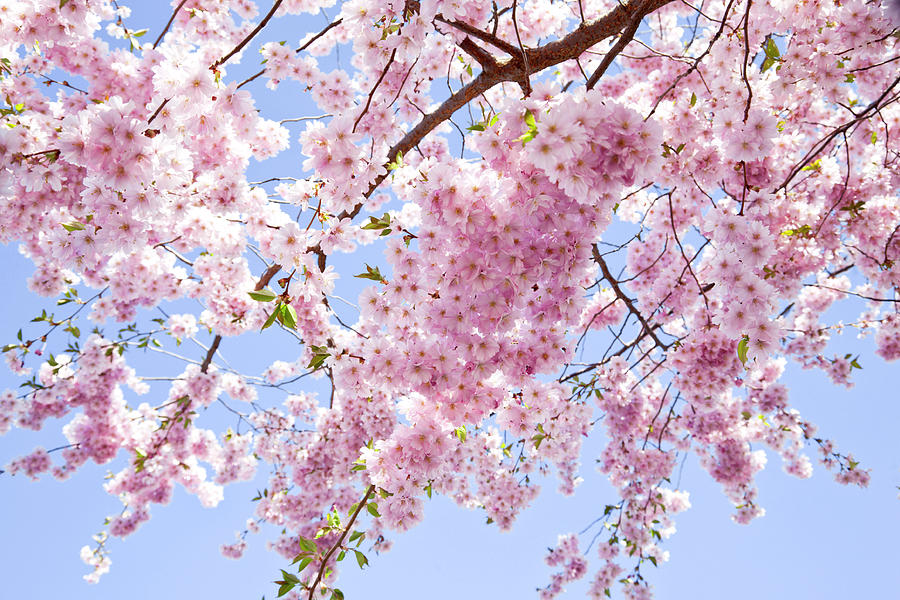 Branch Of Pale Pink Cherry Blossoms Photograph by Brittak