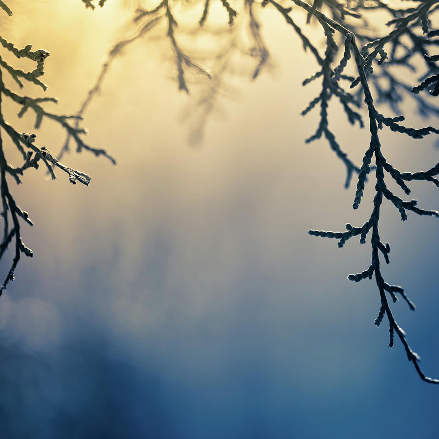 Branch Of Pine Tree Photograph by Jeja