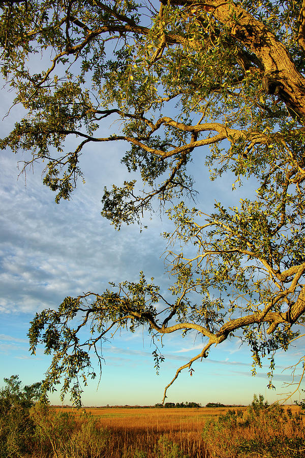 Branches Of Live Oak Tree Frame A Marsh Photograph by Joseph Shields