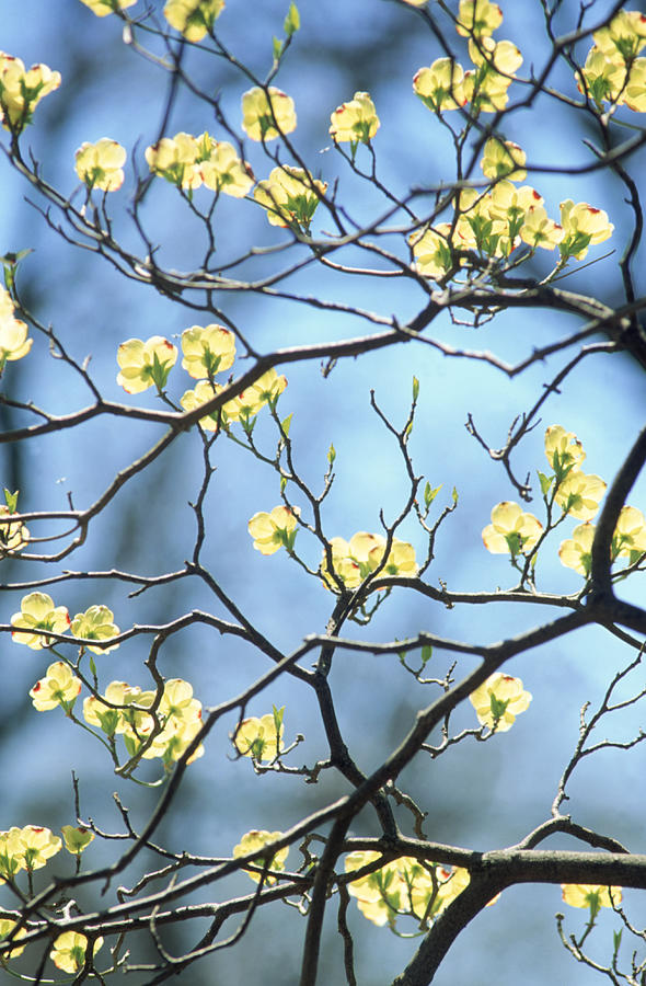 Branches Of Spring Flowering Tree Photograph by Steven Emery