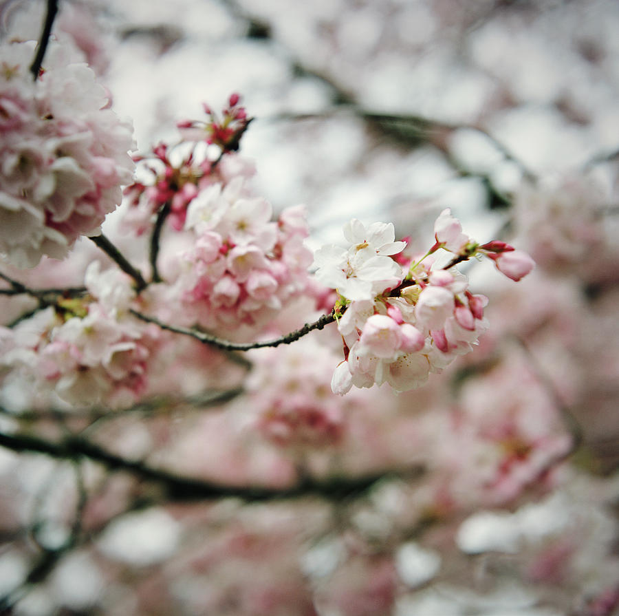 Branches With Cherry Tree Blossoms Photograph by Danielle D. Hughson