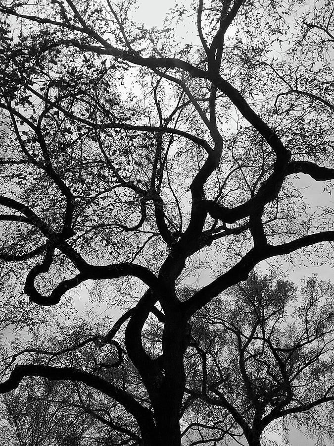 Branching Out bw by Emmy Marie Vickers