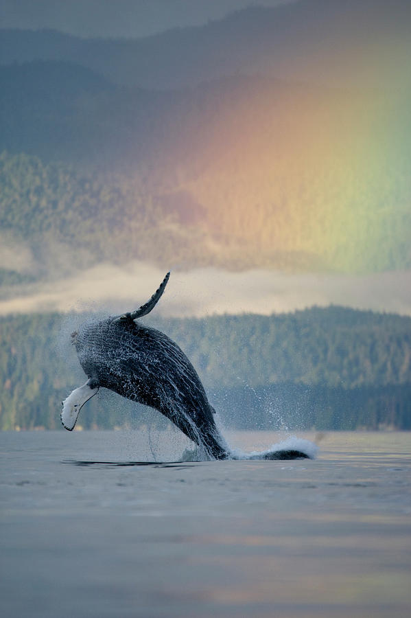 Animals In The Wild Photograph - Breaching Humpback Whale And Rainbow by Paul Souders