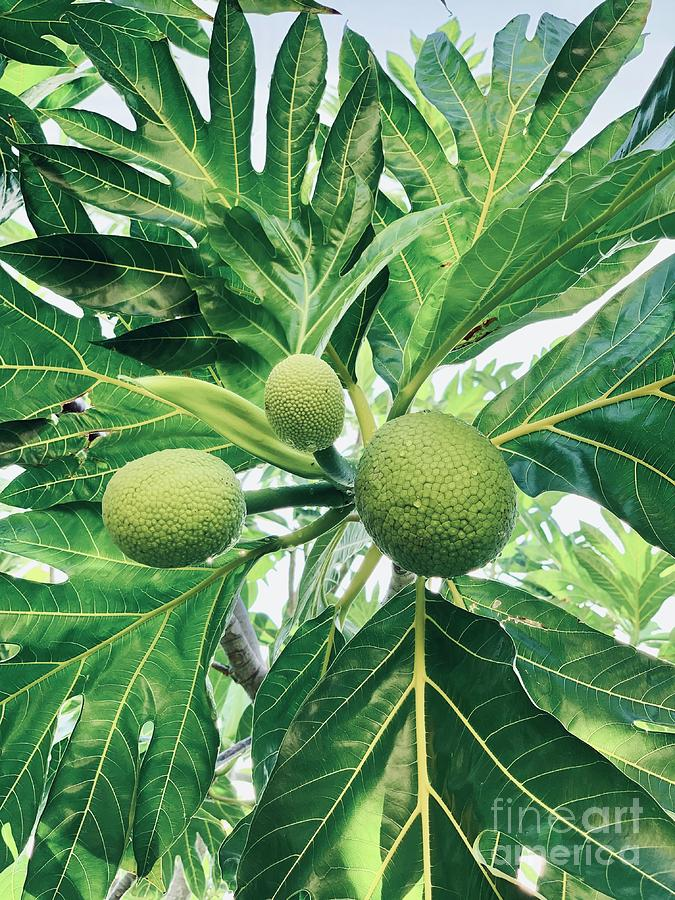 Breadfruit Natural by Laura Forde