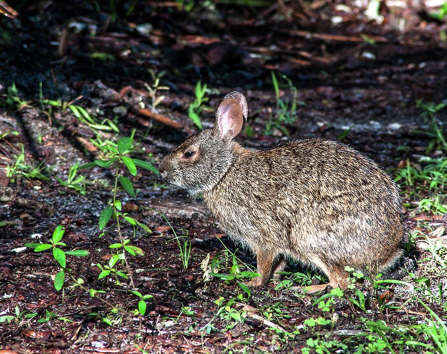 Marsh Rabbit Photograph - Brer Rabbit by Norman Johnson
