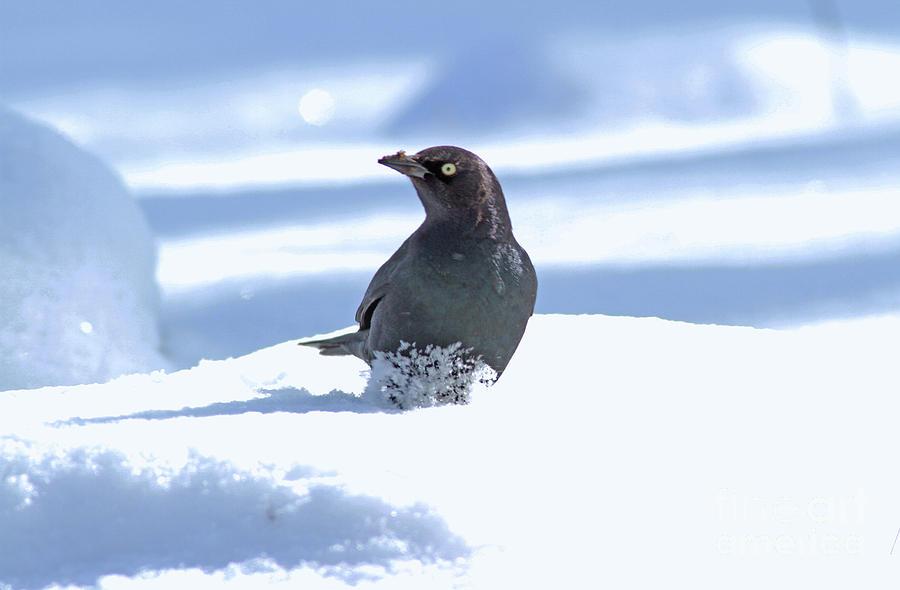 Brewer's Blackbird Photograph - Brewers Blackbird by Gary Wing