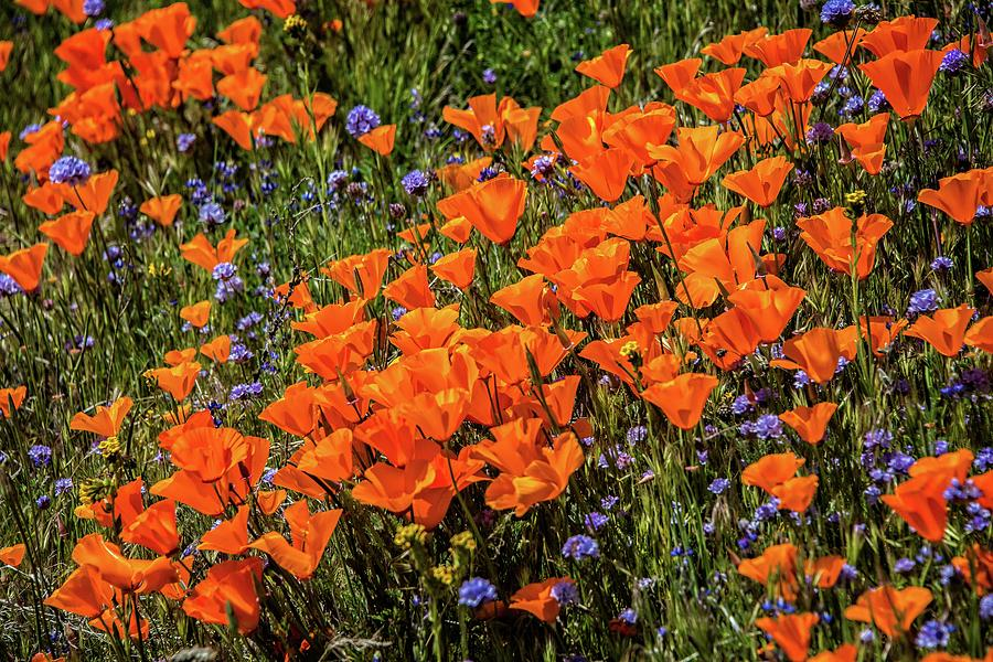 Bright and Beautiful Poppies of the 2019 Superbloom by Lynn Bauer