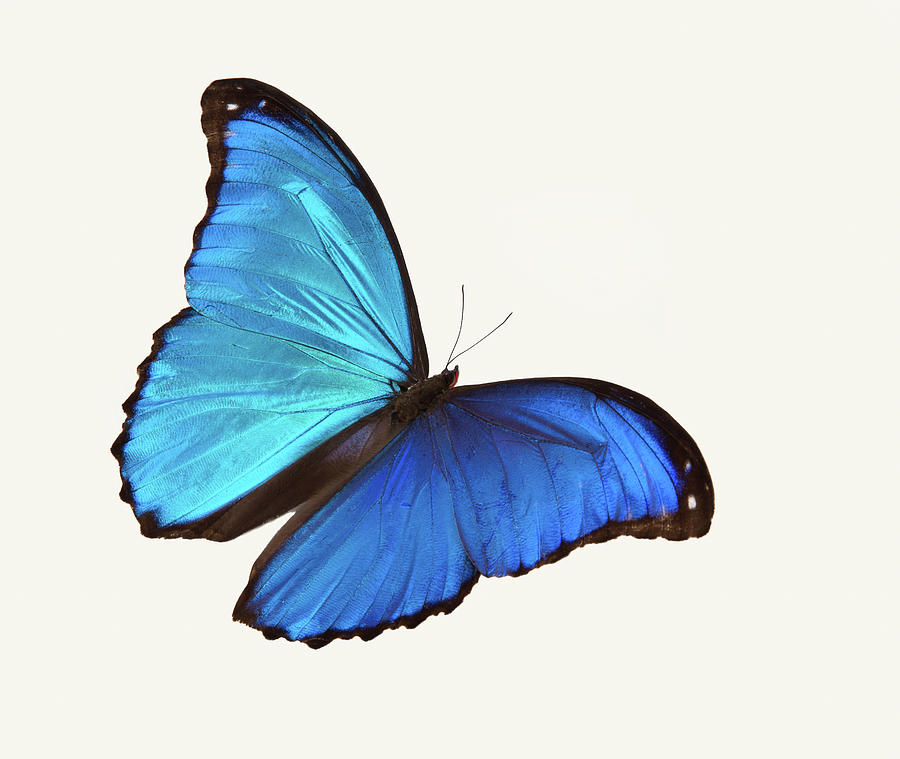 Bright Blue Butterfly Flying Against A Photograph by Stanley45