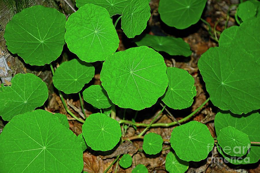 Bright Edible Nasturtium Leaves by Kaye Menner by Kaye Menner