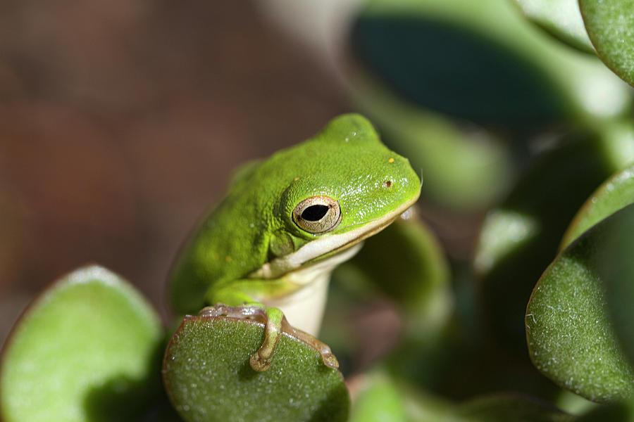 Bright Green Alabama Tree Frog by Kathy Clark