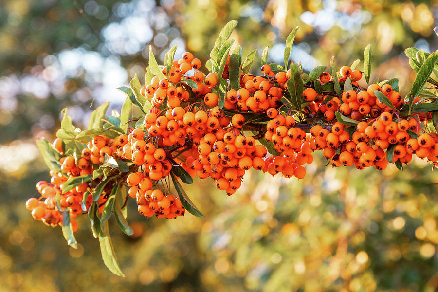 Bright Orange Firethorn Or Pyracantha Berries Photograph By Chris
