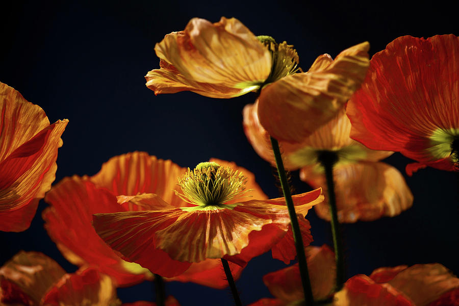 Icelandic Poppies Photograph - Bright Orange Poppies by Cheryl Day
