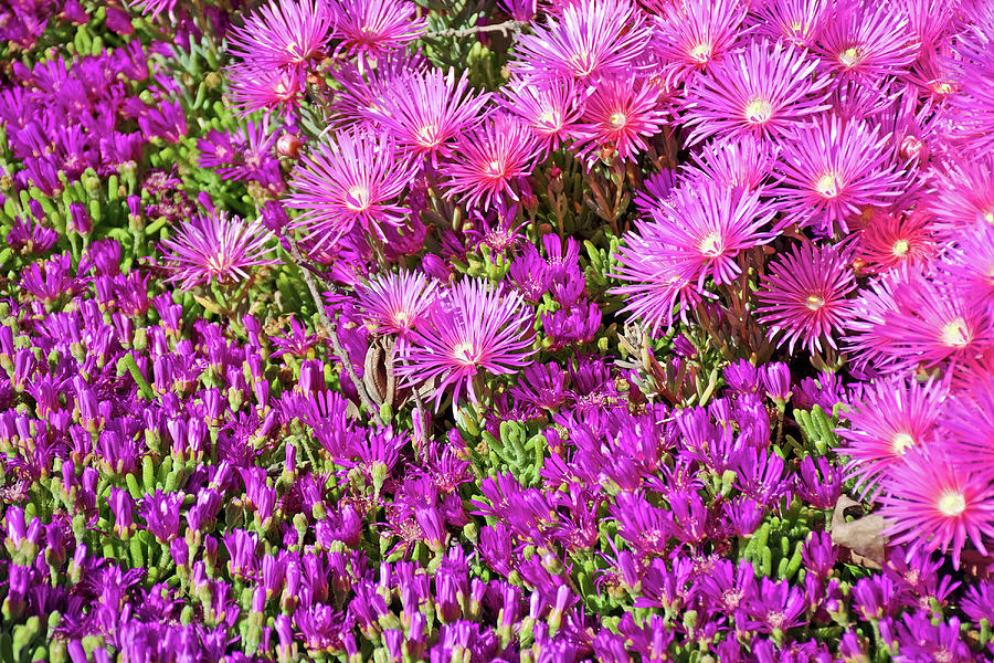 Bright Pink and Light Pink Ice Plant at Saint Lukes Lutheran Church in Claremont, California  by Ruth Hager