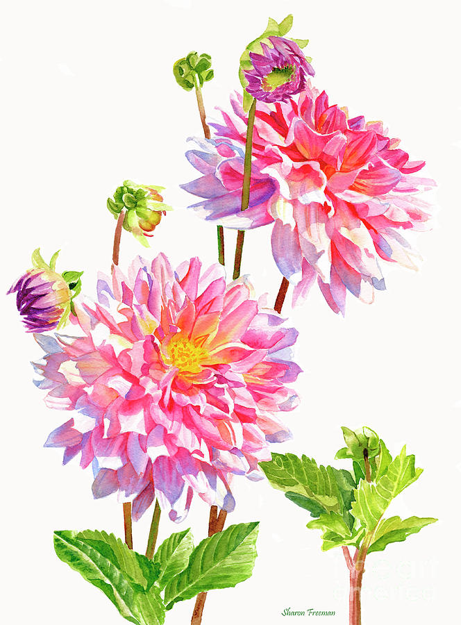 Flowers Painting - Bright Pink Dahlias With Buds by Sharon Freeman