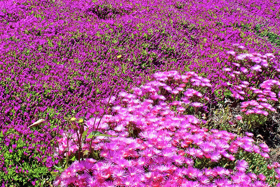 Bright Pink Ice Plant at Saint Lukes Lutheran Church in Claremont, California by Ruth Hager