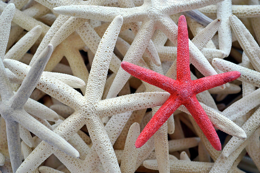 Brightly Dyed Red Among White Starfish Photograph by Deborahmaxemow
