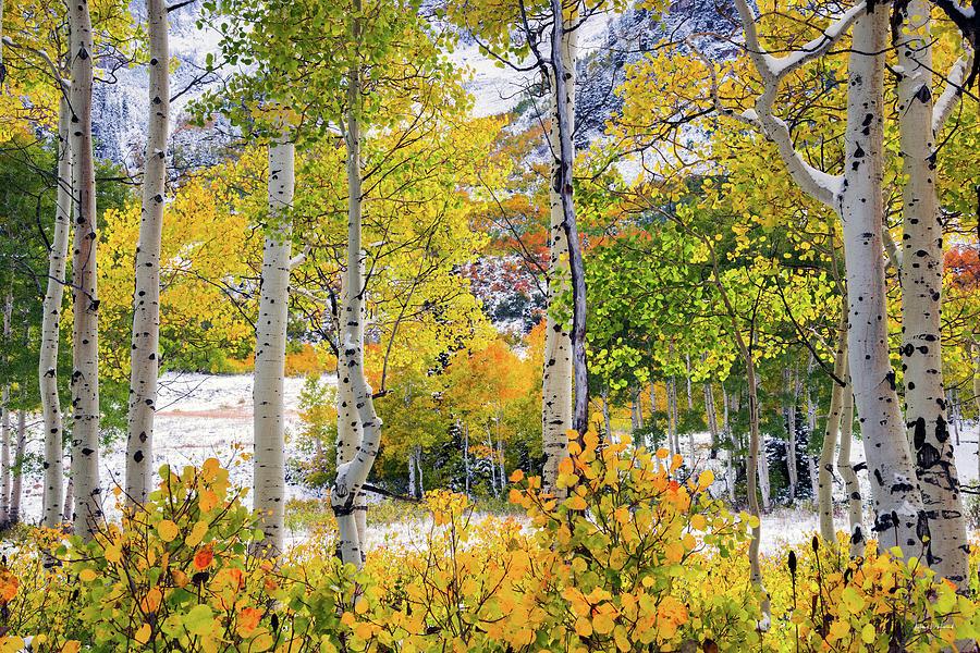 Aspen Forest Photograph - Brilliant Autumn by Leland D Howard