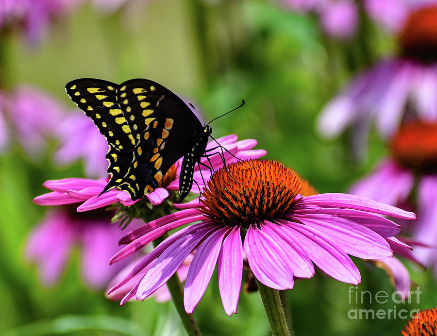 Brilliant Black Swallowtail Photograph