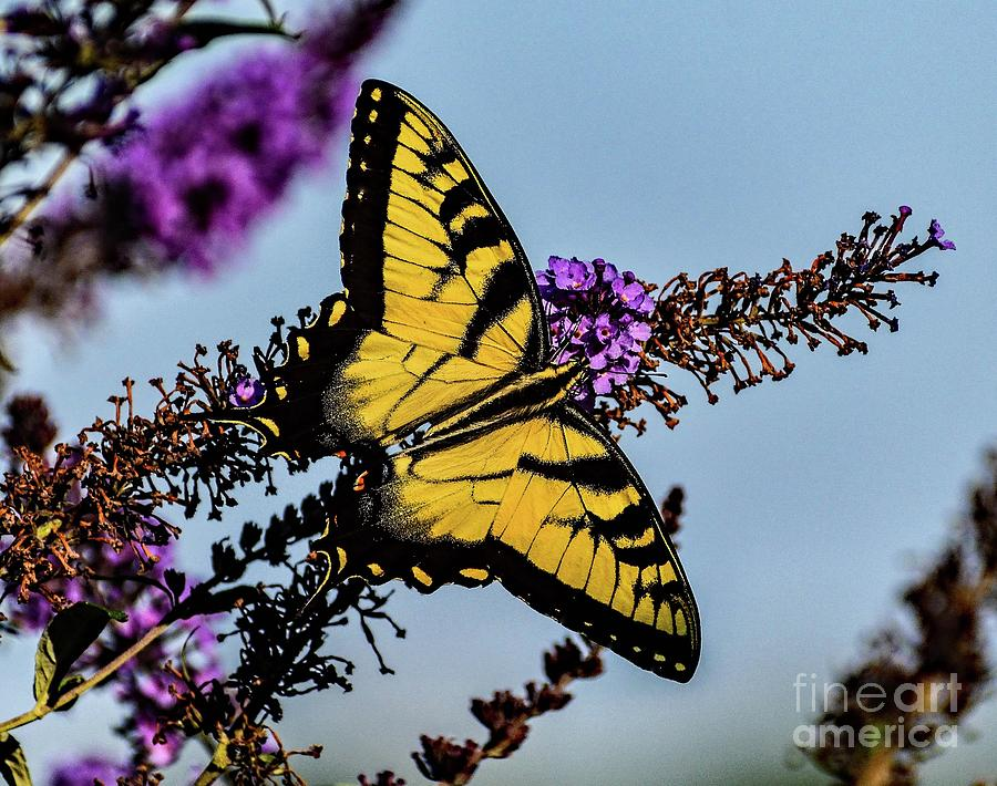Brilliant Eastern Tiger Swallowtail by Cindy Treger